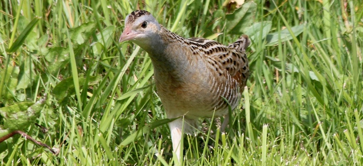 The elusive Corncrake breeding successfully on Iona from May to July.